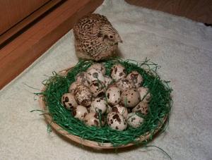 Wachtel mit Eiern. Quelle: http://evg-osthessen.de/wp-content/uploads/2013/06/Wachtel.png